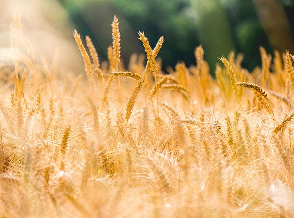 Collecte de céréales
