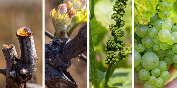 scpa-culture-vigne
